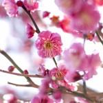 大賞・立ち読みの旅行読売梅開く/3句だけ俳句コンテンスト