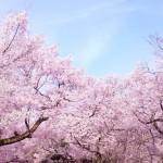 花の俳句投稿サイト『千本桜』を公開しました!